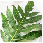 Rebusan daun sukun Untuk obati gangguan pencernaan